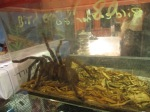 31 Bird-Eating Tarantula