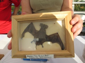 Preserved Mexican free-tailed bat