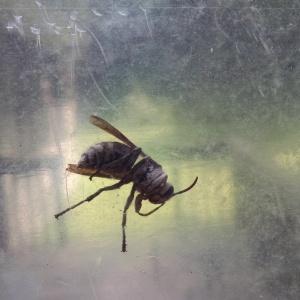Hornet 5