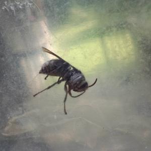 Hornet 6