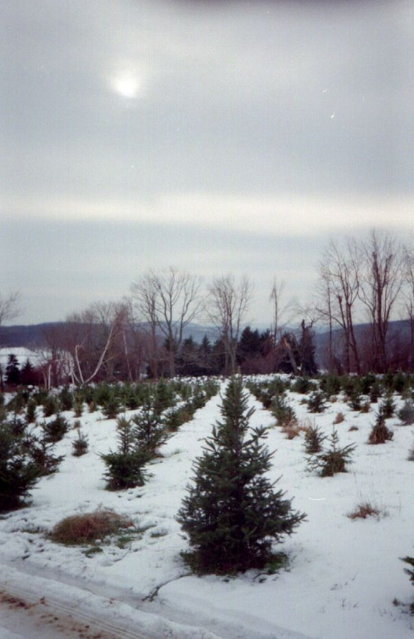 Angevine Tree Farm Nov 2002