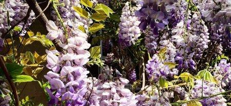 a-giant-wistaria