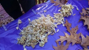 sprouted pumpkin seeds 9