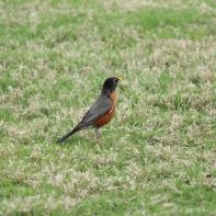 American Robin Savannah 2-25-18