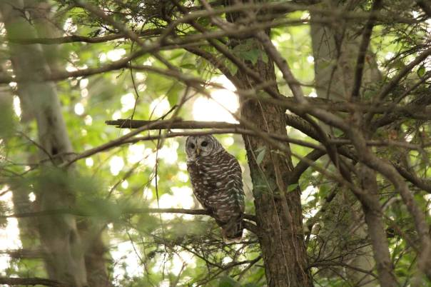 Barred Owl 9-9-16
