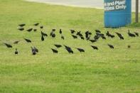 Brown Headed Cowbirds Tybee Island 2-26-18