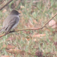 Eastern Phoebe Savannah 2-23-18
