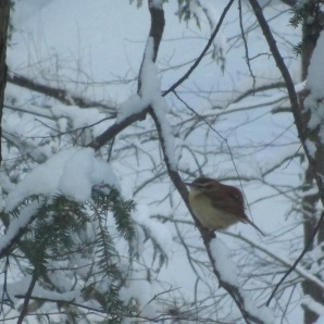 Fattypants the Carolina Wren
