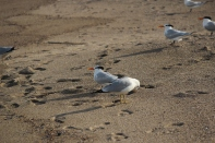 Forster's Terns Tybee Island 2-26-18