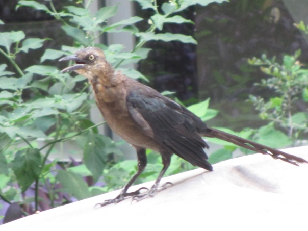 Great-Tailed Grackle Austin 8-18-14