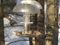 Golfinches and house finches