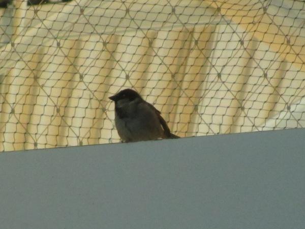 House Sparrow JFK 2-22-18 2
