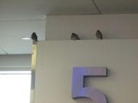 House Sparrows JFK 2-22-18
