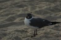 Laughing Gull Tybee Island 2-26-18