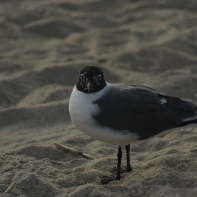 Laughing Gull Tybee Island 2-26-18