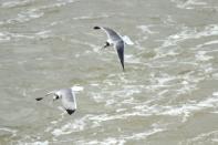 Laughing Gulls Savannah 2-25-18