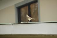 Northern Mockingbird Savannah 2-23-18