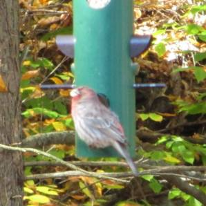 Orson House Finch 10-13-13 2