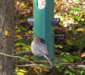 Orson House Finch 10-13-13
