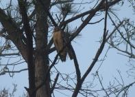 Redshouldered Hawk Savannah 2-23-18