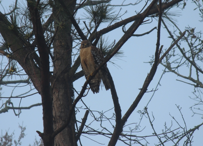 Redshouldered Hawk Savannah 2-23-18