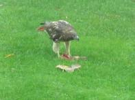 Redtailed Hawk 10-23-16 3