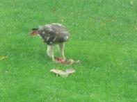 Redtailed Hawk 10-23-16