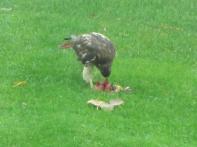 Redtailed Hawk 10-23-26 2