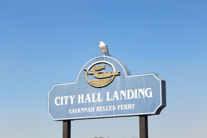 Ringbilled Gull Savannah 2-27-18