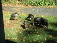 Wild Turkeys 10-14-02 2