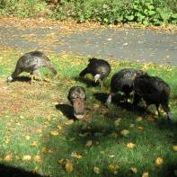 Wild Turkeys 10-14-02 2