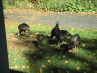 Wild Turkeys 10-14-02 3