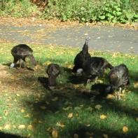 Wild Turkeys 10-14-02 3