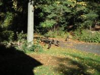 Wild Turkeys 10-14-02 4