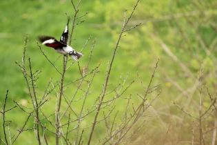 The Rose-breasted Grosbeak takes flight! Photo by Nathan Schoonover.