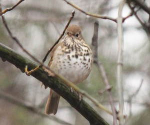 HERMIT THRUSH CROPPED 04-19-18 - Copy