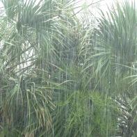 Myrtle Beach Palms in Rain 1