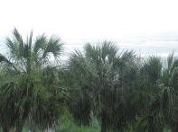Myrtle Beach Palms in Rain 2