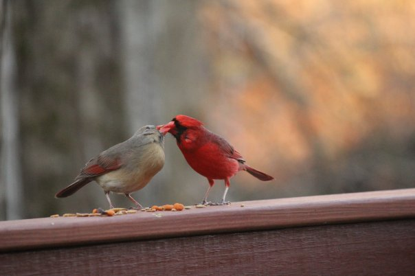 Northern Cardinals - Courtship Display