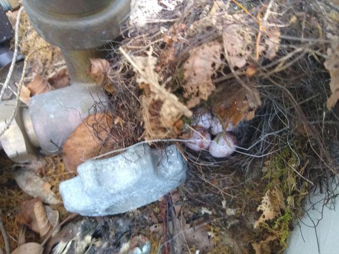 Carolina Wren Nest 1