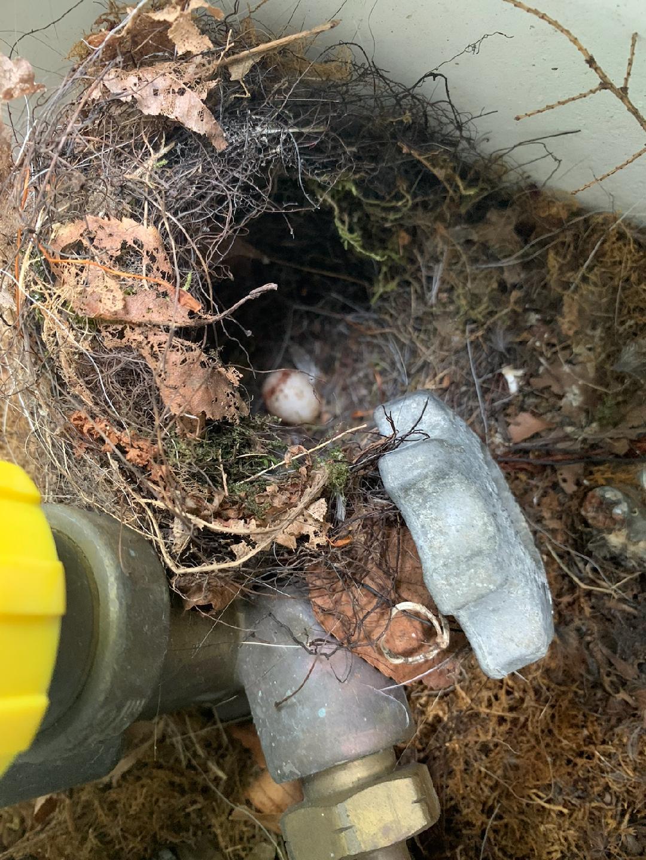 Carolina Wren -- Dead Egg in Nest 06-22-21