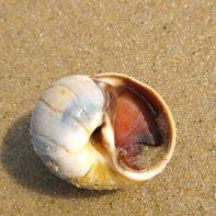 Moon snail with operculum