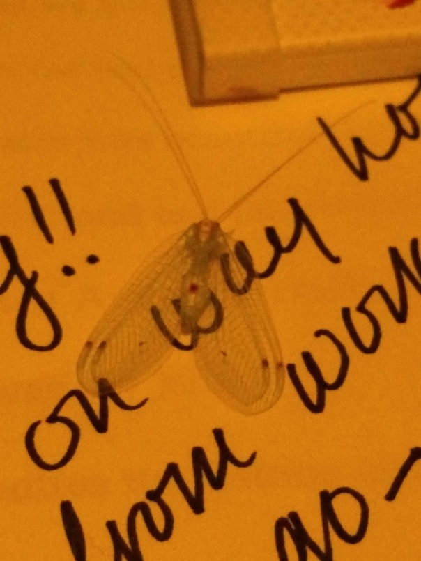 Clear-winged green bug 1